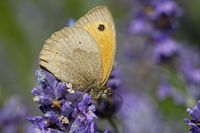 Meadow brown on lavender