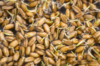 sprouting wheat grain background