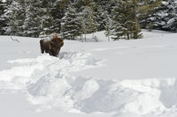 tracks in the snow... American Bison *Bison bison*