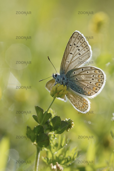opening its wings... Common Blue *Polyommatus icarus*