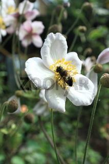 anemone, blüte mit insekt