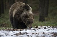 first snow... European Brown Bear *Ursus arctos*
