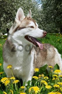 Siberian Husky outdoors