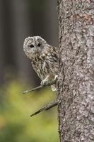 watching around the corner... Tawny Owl *Strix aluco*#