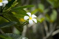 frangipani_flower2.jpg
