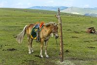 Aufgezäumtes Pferd steht an einem Pfahl angebunden in der Steppe