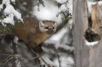 in winter... American pine marten *Martes americana*
