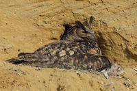 gathering its chicks... Eurasian Eagle Owl *Bubo bubo* on its nest in the cliff of a sand pit