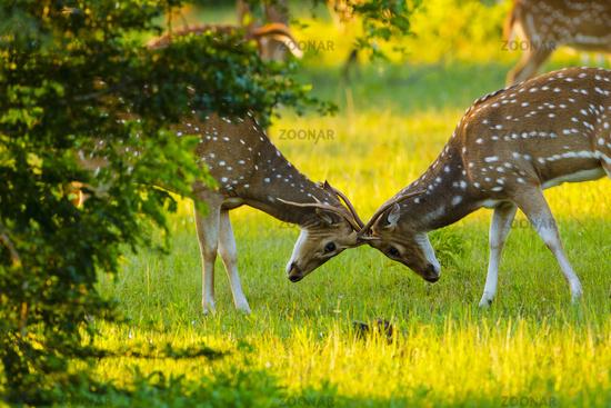 Spotted Dear, Axis - Ruhunu Yala NP, Sri Lanka