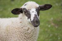 sheep, lamb, ovis