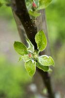 apple tree bud