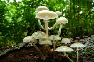 Buchen- Schleimruebling,  Beringter Schleimruebling, Oudemansiella mucida,