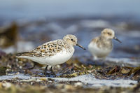 Two sanderling at beach