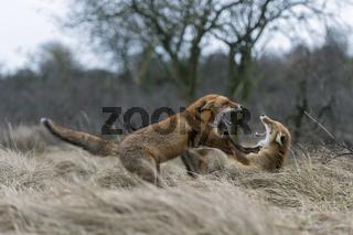 während der Ranz... Rotfuchs *Vulpes vulpes*