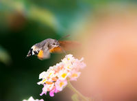 Hummingbird hawk-moth hovering over lantana flower