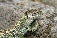 sand lizard male