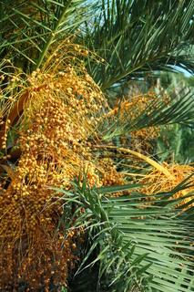 Palme mit Früchten, Spanien