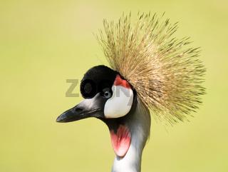 Portrait of a grey crowned crane