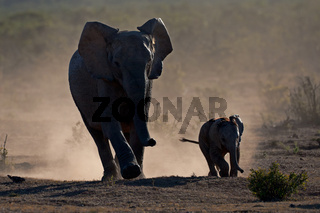 Elephants in dust