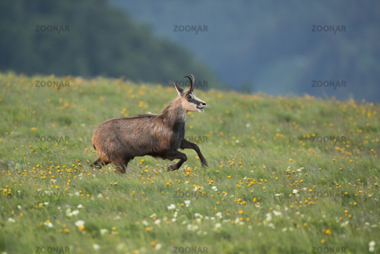 joyfully... Alpine Chamois *Rupicapra rupicapra*