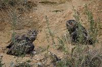protecting its prey ... Eurasian Eagle Owl *Bubo bubo*