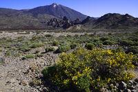 Vulkanische Vegetation, hinten Vulkan Pico del Teide, Teneriffa,