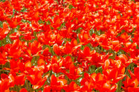 Texture of red tulips