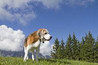 Beagle when hiking