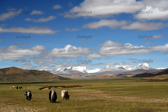Yaks on Tibetan Plateau