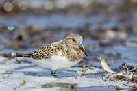 Sanderling in water