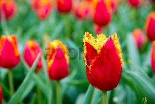 Red flame spring tulips, Amsterdam, Netherlands.