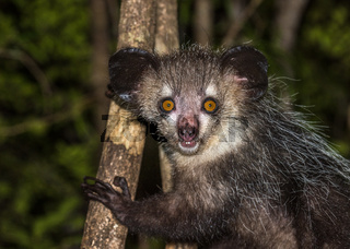 Aye-aye, nocturnal lemur of Madagascar