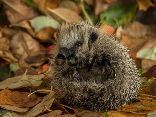 hedgehog curled up in autumn leaves