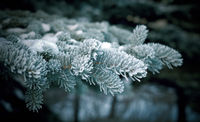 Winter  christmas frost on spruce tree