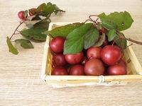 Red cherry plum or myrobalan plum, Prunus cerasifera, in basket