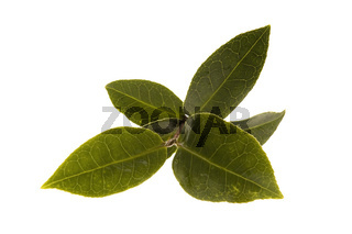fresh tea leaf