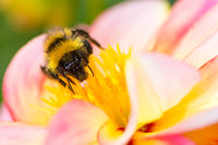 Bumblebee collecting nectar in a dahlia blossom