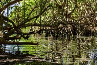 Magrove vegetation