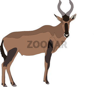 Portrait of a red hartebeest antelope