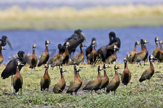 Witwenpfeifgans (Dendrocygna viduata), mit Afrikanischen Klaffschnabel im Hintergrund, Mohrenklaffschnabel (Anastomus lamelligerus), Chobe River, Chobe Fluss, Chobe National Park, Botswana, Afrika, White-face Whistling Ducks and African Openbill Storks