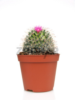 Blossoming cactus in a pot