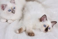SACRED CAT OF BIRMA, BIRMAN CAT, LITTER, LYING,