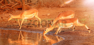Impalas trinken vorsichtig aus Angst vor Krokodilen, Kruger Nationalpark, Südafrika, drinking Impalas are afraid of crocodiles, Kruger NP, South Africa