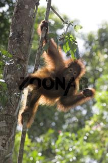 Junger Borneo-Orang-Utan / Orangutan / Pongo pygmaeus