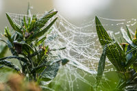 Cobwebs between balcony plants in the morning mist.