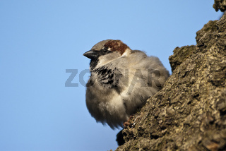 Haussperling, Spatz, Passer domesticus, am Nest