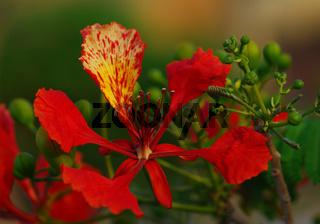 Blüte Flammenbaum