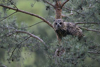 watching out of a pine tree... Eurasian Eagle Owl *Bubo bubo*