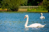 Couple of white swans swimming in the lake