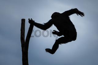 Swinging Chimp VII
